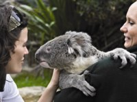 Блог Павла Аксенова. Зоопарк Таронга (Taronga Zoo). Koala encounter credit Taronga Zoo