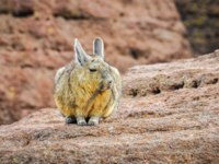 Клуб путешествий Павла Аксенова. Патагония. Вискачи. Cute viscacha in the High Andean Plateau desert in Bolivia. Фото kovgabor79 - Depositphotos