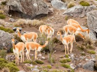 The Vicugna Is One Of Two Wild South American Camelids Which Live In The High Alpine Areas Of The Andes Mountains. Фото ammmit - Depositphotos