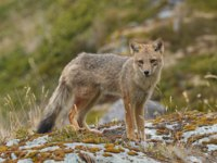 Патагония. Магелланова собака. Andean Fox on a Coastal Beach in Tierra del Fuego in Chile. Фото wildnerdpix - Depositphotos