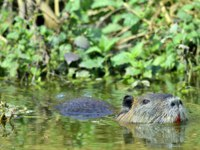 Патагония. Нутрия. Swimming nutria. The coypu (Myocastor coypus), also known as the nutria. Фото SURZet - Depositphotos