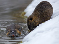 Патагония. Нутрия. Nutria, Myocastor coypus, winter mouse with big tooth in the snow, near the river. Фото OndrejProsicky - Depositphotos
