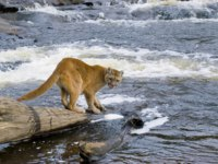 Клуб путешествий Павла Аксенова. Патагония. Пума. Puma or Mountain lion, Puma Фото DesignPicsInc - Depositphotos