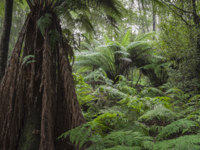 Клуб путешествий Павла Аксенова. Австралия. Тасмания. Tropical forest in Mount Field National Park, Tasmania. Australia. Фото Curioso_Travel_Photography - Depositphotos
