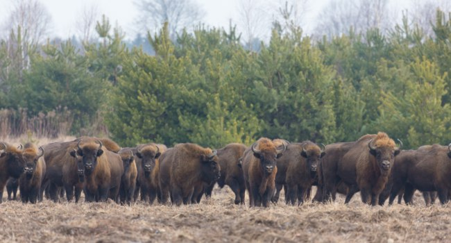Клуб путешествий Павла Аксенова. Беларусь. Беловежская пуща. European Bison herd in snowless winter time against pine trees in morning, Bialowieza Forest, Poland, Europe. Фото alek