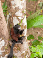 Клуб путешествий Павла Аксенова. Бразилия. Тамарин. Saddle Backed Tamarin in the Peruvian Amazon. Фото wildnerdpix - Depositphotos
