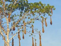 Бразилия. Бассейн реки Амазонка. Oropendola Nests in a Cannonball tree in the Amazon Rain Forest. Фото wildnerdpix - Depositphotos