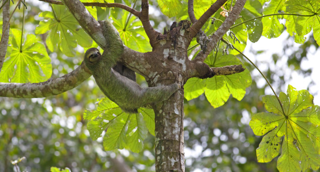 Бразилия. Бассейн реки Амазонка. Ленивец. A Three-toed Sloth in Manuel Antonio national park. Фото kjorgen - Depositphotos