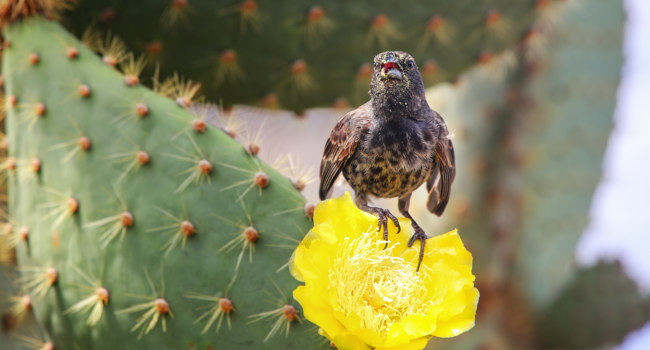 Common cactus finch (Geospiza scandens) sitting on a cactus flower, Santa Cruz Island in Galapagos National Park, Ecuador. Фото DonyaNedomam - Depositphotos