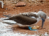 Эквадор. Галапагосские острова. Голубоногая олуша. Blue footed booby nesting two eggs in the Galapagos Islands, Ecuador. Фото pxhidalgo - Depositphotos