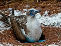 Эквадор. Галапагосские острова. Голубоногая олуша. Portrait of blue footed booby nesting in the Galapagos Islands, Ecuador. Фото pxhidalgo - Depositphotos