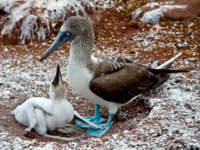 Эквадор. Галапагосские острова. Голубоногая олуша. Blue footed booby with booby chick in the Galapagos Islands, Ecuador. Фото pxhidalgo - Depositphotos