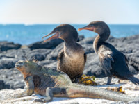 Эквадор. Галапагосские острова. Two flightless cormorants and a marine iguana on Fernandina Island in the Galapagos Islands in Ecuador. Фото jkraft5 - Depositphotos