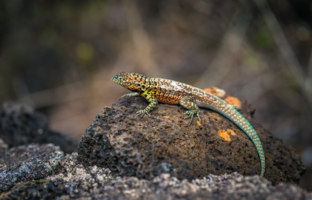 Эквадор. Галапагосские острова. Galapagos Islands. Lava Lizard in Tortuga Bay in Santa Cruz Island, Galapagos Islands, Ecuador. Фото RPBMedia - Depositphotos