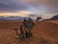 Египет. Синай. Шарм-эль-Шейх. Camels on the background of desert and mountains. Egypt. Фото Anton_Petrus - Depositphotos