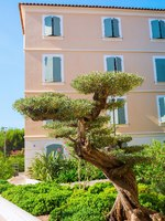 Лазурный Берег Франции. Bonsai style olive tree in Saint Tropez, South France. Фото Madrabothair - Depositphotos