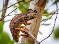 Заморские территории Франции. Остров Реюньон. Panther chameleon, endemic reptile of Reunion, Mauritius and Madagascar islands. Фото pierivb-Depositphotos