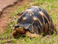 Остров Реюньон. The Radiated tortoise (Astrochelys radiata), endemic of southern Madagascar and Reunion Islands. Фото pierivb-Depositphotos
