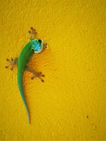Заморские территории Франции. Остров Реюньон. This image shows an endemic green Gecko from La Reunion Island. Фото neofelizz-Depositphotos