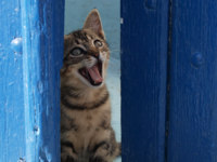 Клуб путешествий Павла Аксенова. Греция. Остров Санторини. Lovely Cat yawns behind blue door. Фото Sabrina Nicolazzi Depositphotos