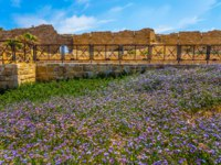 Израиль. Археологический парк Кесария. Lilac wildflowers on the seashore. Israel. Ruins of the ancient city and port of Caesarea. Фото kavramm-Deposit