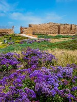 National park Caesarea on the Mediterranean. Israel. The vast field of lavender flowers. The ruins of the protective walls and internal structures. Фото kavramm-Deposit