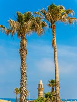 Израиль. Археологический парк Кесария. The palm trees and minaret. Ruins of the ancient city and port of Caesarea, Israel. Фото kavramm-Depositphotos