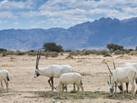 Израиль. Тимна парк. Antelope, Arabian oryx (Oryx leucoryx) in desert nature reserve, 35 km north of Eilat, Israel. Фото gorsh13 - Depositphotos