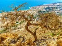 Израиль. Национальный природный парк Эйн-Геди. The view on the Dead Sea coast through the tree on the rocky mountain slope, Ein Gedi. Фото efesenko-Deposit