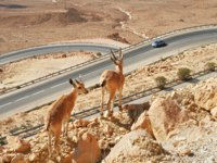 Two ibexes stand on the cliff above the higway at Ramon Crater (Makhtesh Ramon) in Negev Desert in Israel. Фото rglinsky - Depositphotos