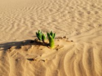Green plant in the sandy desert. Taken in desert Negev, Israel. Фото Alexander Gulevich - Depositphotos