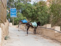 Near Mitzpe Yeriho, Israel, Tied donkeys with saddles stand near the gate of the monastery of St. George Hosevit (Mar Jaris). Фото svarshik1-Depositphoto