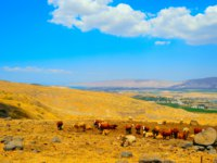 Клуб путешествий Павла Аксенова. Израиль. Галилея. Landscape Of Galilee Mountains With Herb Of Cows On The Pasture. Фото George Kuna Depositphotos