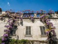 Италия. АрхиFlowering Wisteria plants on house wall background. Natural home decoration with flowers of Chinese Wisteria, also known as Fabaceae Wisteria sinensis