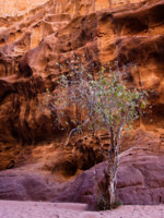 Иордания. Пустыня Вади Рам. Wadi Rum Desert. Single tree near mountains in Wadi Rum, Jordan. Фото Vit Kovalcik - Depositphotos