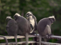 Клуб путешествий Павла Аксенова. Малайзия. О.Лангкави. The Datai Langkawi. Monkeys