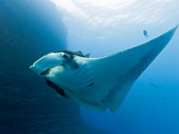 Мальдивы. Four Seasons Resort Maldives at Landaa Giraavaru. Дайвинг. Manta on the coral reef. Фото criso - Depositphotos