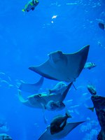 Мальдивы. Stingray fish. Aquarium tropical fish on a coral reef. Фото Sergii Figurnyi - Depositphotos