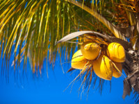 Мальдивы. Coconut palm tree with yellow coconut against the blue sky. Фото d.travnikov - Depositphotos