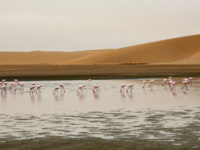 ОАЭ. Абу-Даби. Group of flamingo in front of a dune at walvis bay. Фото imagex - Depositphotos