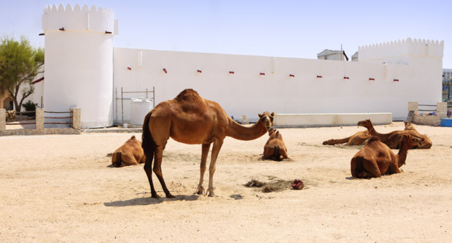 Катар. Camels outside Doha fort. Фото Paul_Cowan - Depositphotos