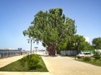 Россия. Набережная Астрахани. Large and old tree poplar on the embankment of the city of Astrakhan. Russia. Фото trewq7239 - Depositphotos