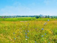 Суздаль. The Ilinskiy meadow with tall grass and bright blue wildflowers, Suzdal, Russia. Фото efesenko - Depositphotos
