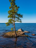 Pines cling to their roots for stones. The wonderful island Valaam is located on Lake Lodozhskoye, Karelia. Фото GeneralSky-Depositphotos
