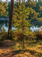 Christmas tree in the morning rays on the lake. The wonderful island Valaam is located on Lake Lodozhskoye, Karelia. Фото GeneralSky-Depositphotos