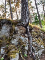Mighty trees grow on stones. The wonderful island Valaam is located on Lake Lodozhskoye, Karelia. Фото GeneralSky-Depositphotos