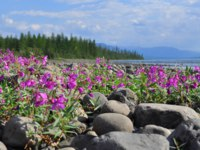 Россия. Плато Путорана. Flowers of fireweed on the cobblestones by the river. Summer landscape on the Putorana plateau, Taimyr, Russia. Фото sergun