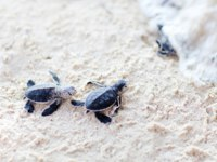 Сейшелы. Остров Фрегат. Fregate Island. Conservation Seaturtle. Baby green turtles. Фото shalamov - Depositphotos