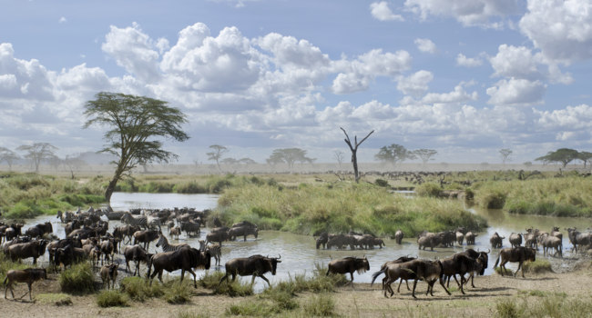 Клуб путешествий Павла Аксенова. Танзания. Herd of wildebeest and zebras in Serengeti National Park, Tanzania. Фото lifeonwhite - Depositphotos