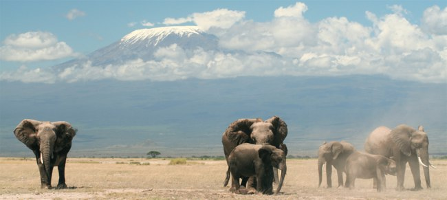 A herd of elephants in Amboseli National Park, Kenya. Mount Kilimanjaro is in the background. graemes - Depositphotos